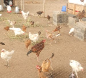 hens march 15